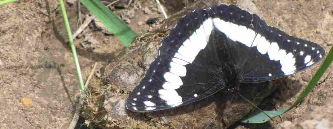 Weidemeyer's Admiral butterfly.