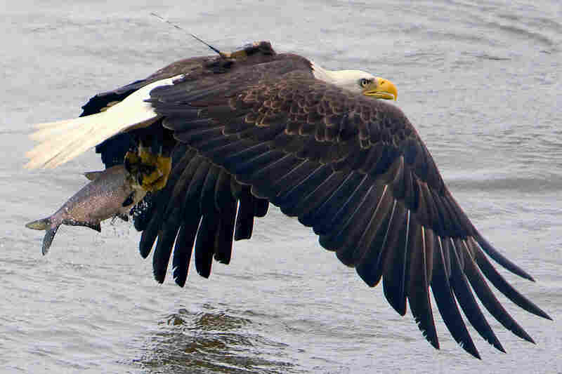 An eagle wearing a transmitter snatches dinner on the fly.