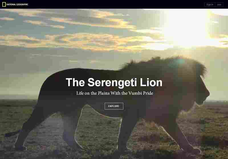 Check out the Serengeti Lions interactive