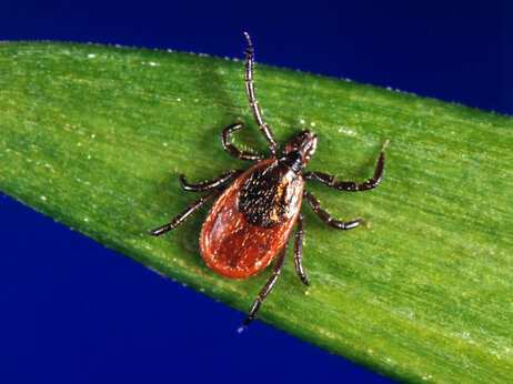 tick 55fbba6b387d8d1024344ae6071fd8f238a65179 s3 c85 Lyme Disease Far More Common Than Previously Known