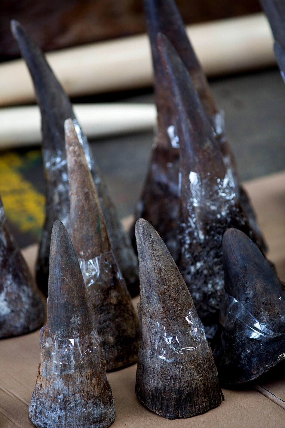 "Rhino horns seized by Hong Kong customs officials are displayed during a press conference Aug. 7. The demand for rhino horn — used for ""medicinal purposes"" — by Asia's elites has fueled poaching and smuggling."