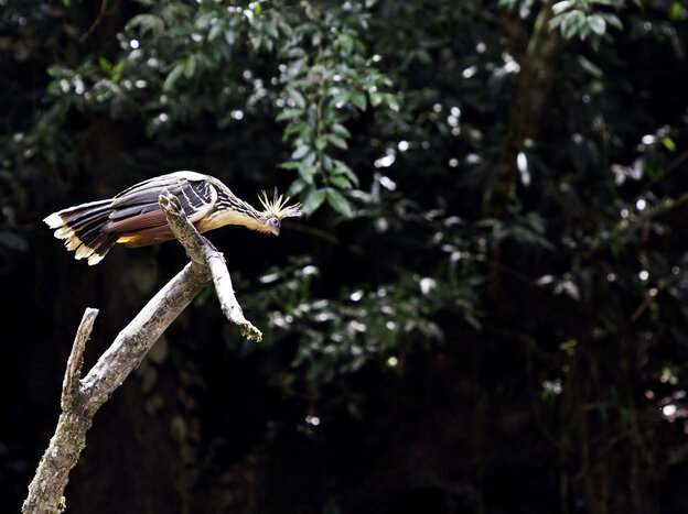 A hoatzin prospects for oil in Yasuni National Park.