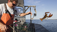 Sternman Scott Beede returns an undersized lobster while checking traps in Mount Desert, Maine.