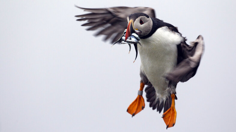 On A Maine Island, Puffins Make A Tenuous Comeback