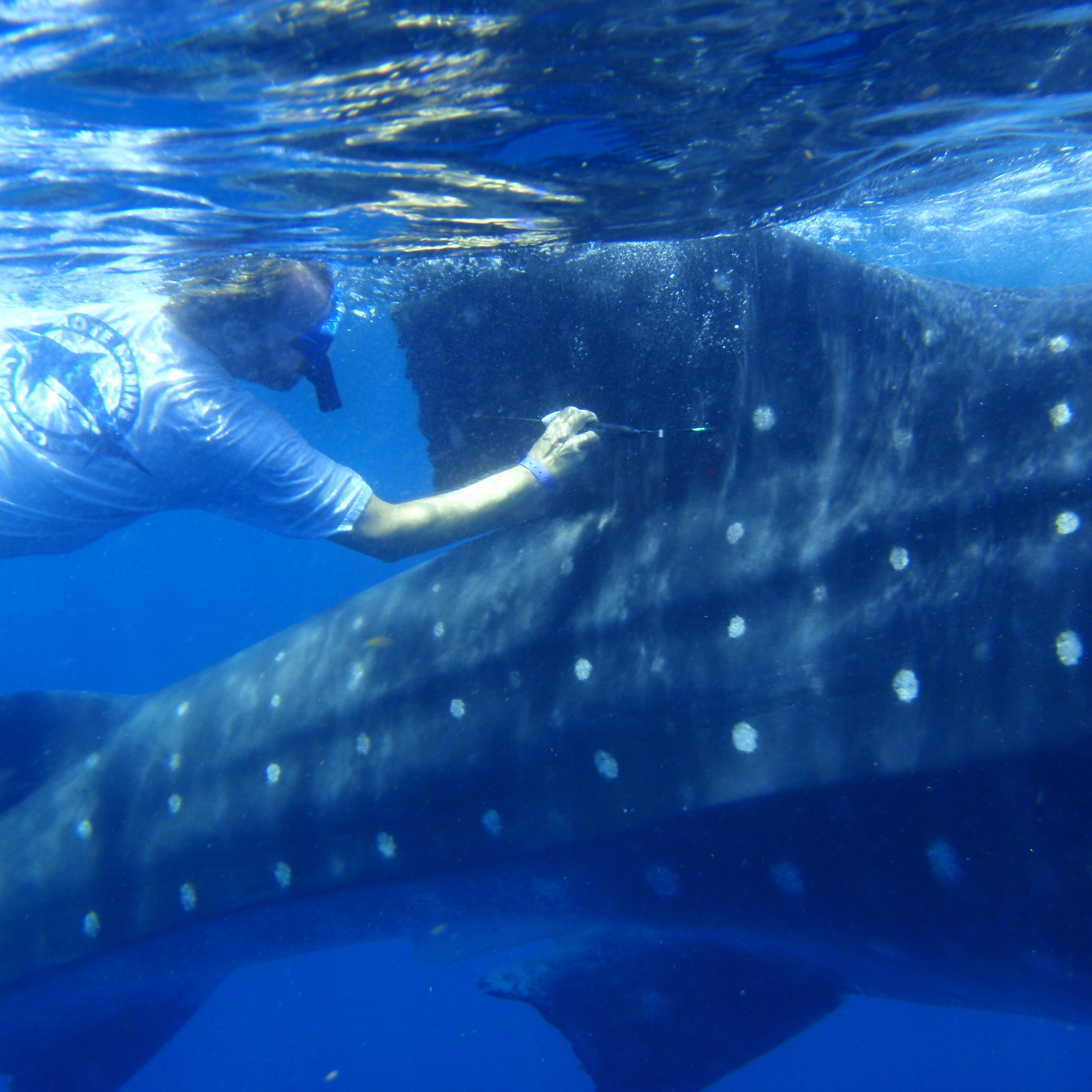 Robert Hueter tags a whale shark off the coast of Mexico. The tags measure location, depth and water temperature, then relay the data back to a lab.