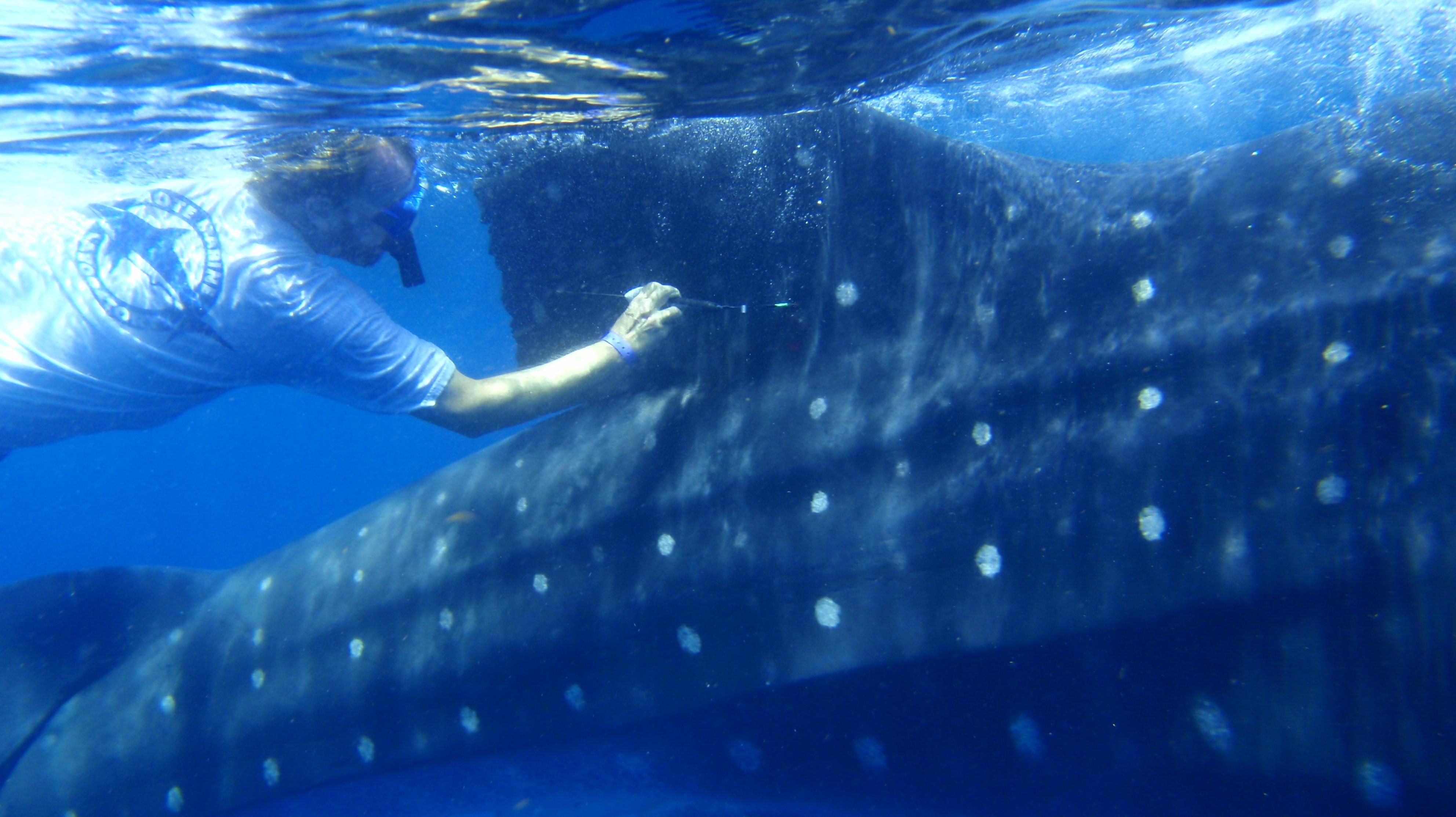 Where The Whale Sharks Go