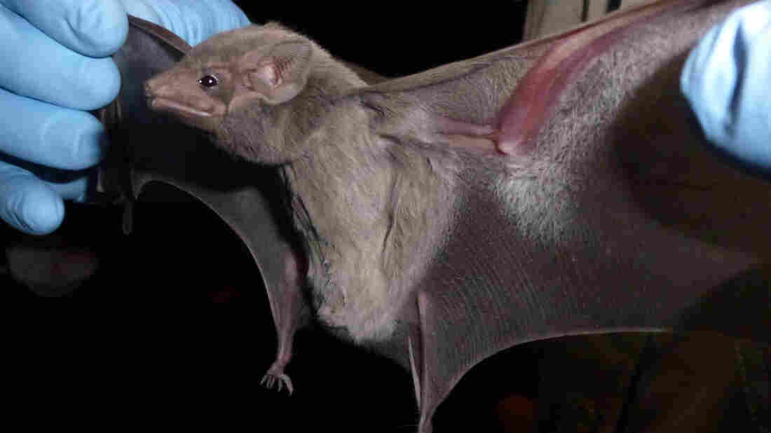 So cute, but not cuddly. The Egyptian tomb bat, Taphozous perforatus, is a likely carrier of the Middle East respiratory syndrome virus, or MERS.