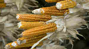 The heirloom corn variety has only eight rows of kernels and hence, its name: New England Eight Row Flint.