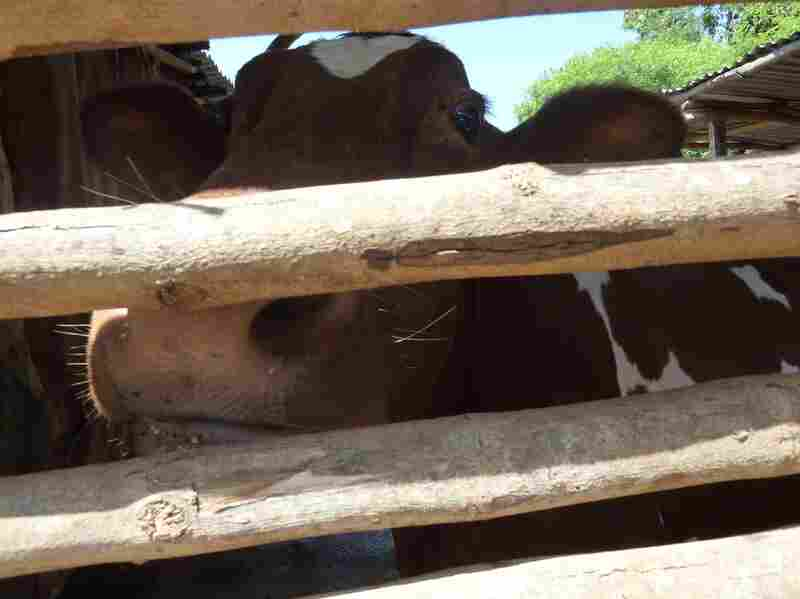 A family in western Kenya received this cow as part of a Heifer International program.