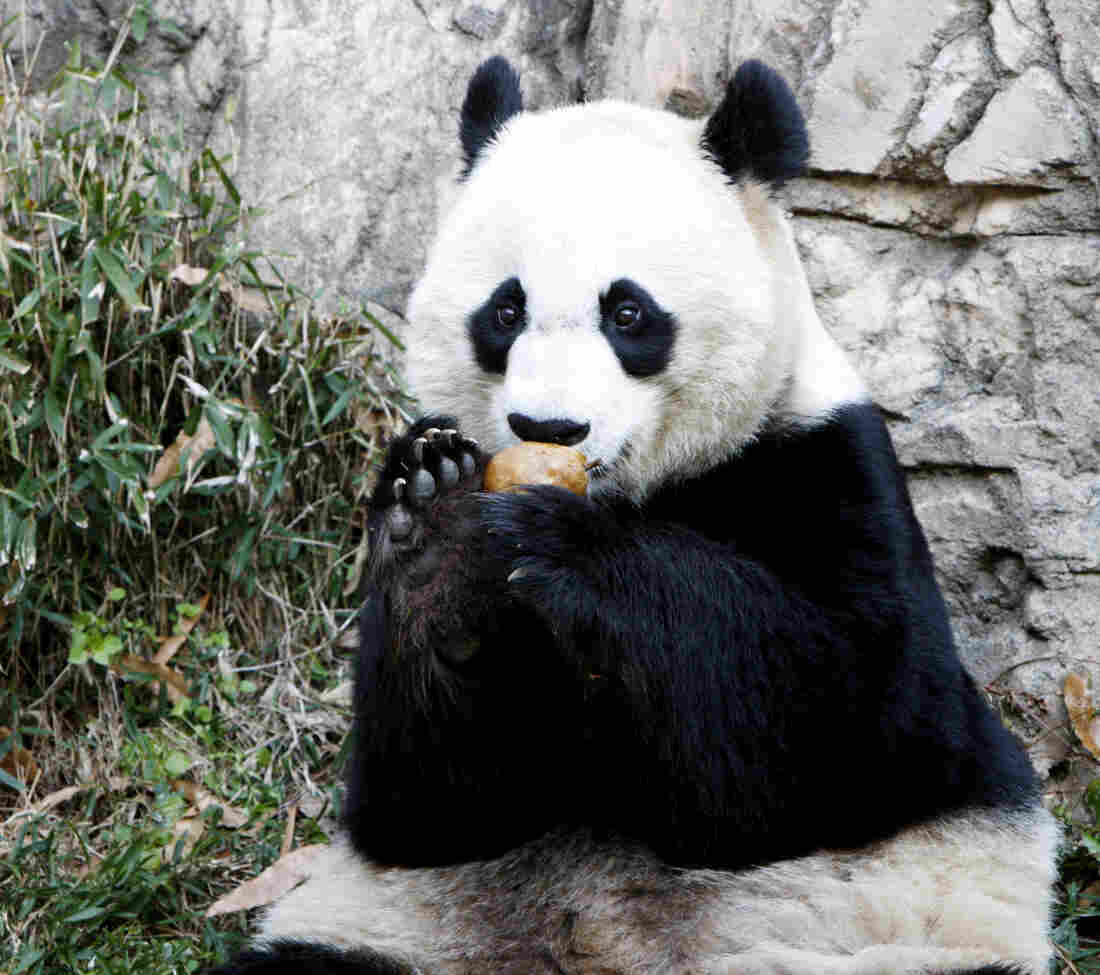 Mei Xiang, who gave birth Friday, enjoying a piece of fruit on Dec. 19, 2011, at the National Zoo.