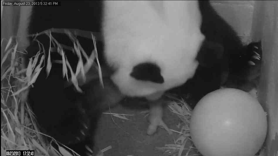 In this image from video provided by the Smithsonian National Zoo, Mei Xiang gives birth to a cub two hours after her water broke Friday. A second cub born Saturday was stillborn.