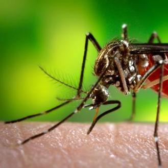 An Aedes aegypti mosquito, a common carrier of the virus that causes dengue fever, feeds on a unfortunate human's arm.