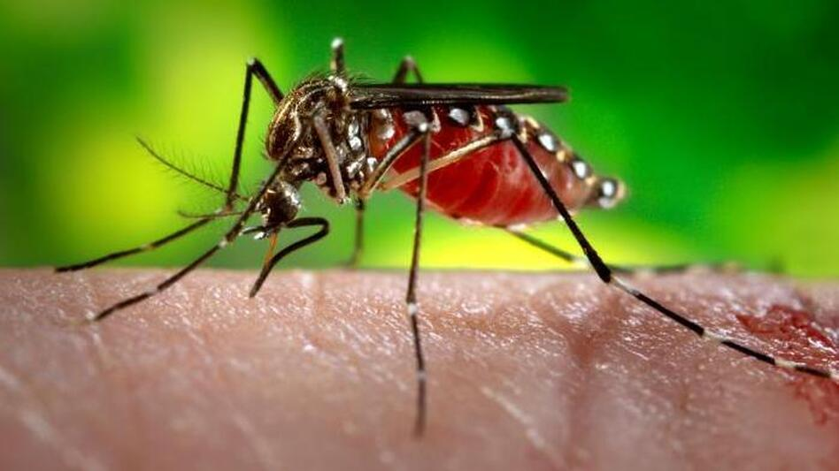 An Aedes aegypti mosquito, a common carrier of the virus that causes dengue fever, feeds on a unfortunate human's arm. (CDC)