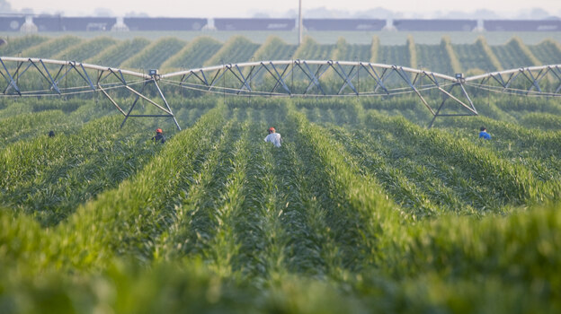 An irrigation pivot waters a corn field in Nebraska. Many farmers in Nebraska and Kansas rely on irrigation to water their corn fields. But the underground aquifer they draw from will run dry. (AP)