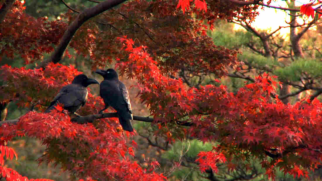 More than 20,000 crows, by recent estimates, live alongside the 13 million human inhabitants of Tokyo; Tokyo Waka tells their