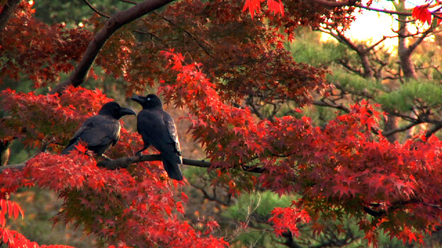 More than 20,000 crows, by recent estimates, live alongside the 13 million human inhabitants of Tokyo; Tokyo Waka tells their story — and meditates on the meaning of their persistence in one of the world's greatest cities.