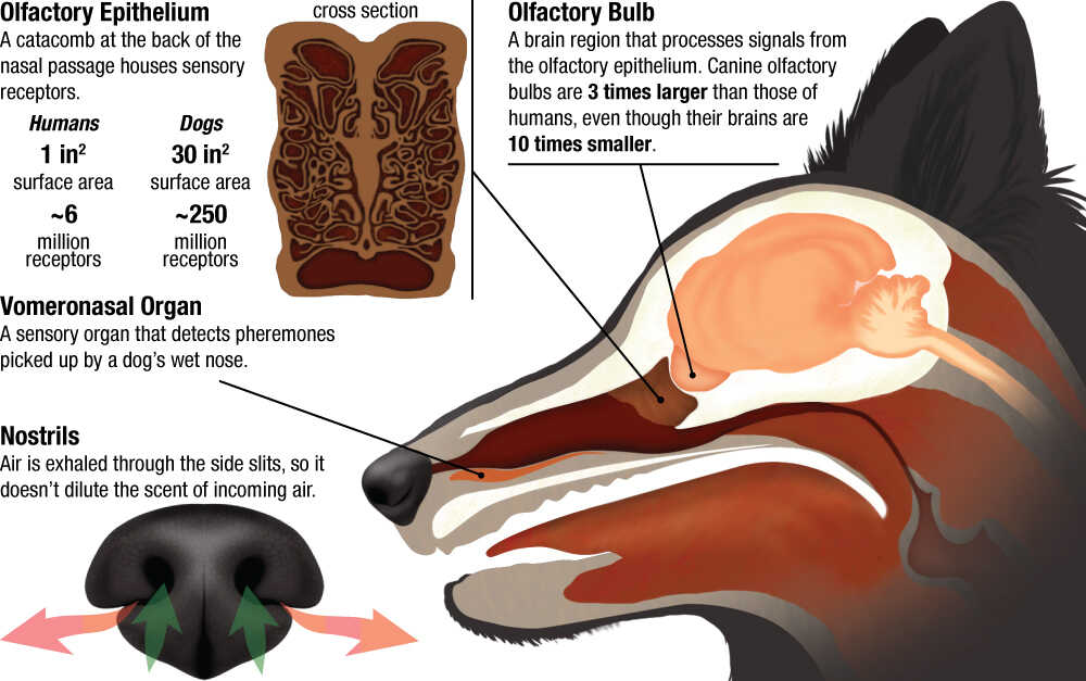 An infographic exploring canine sensory equipment.