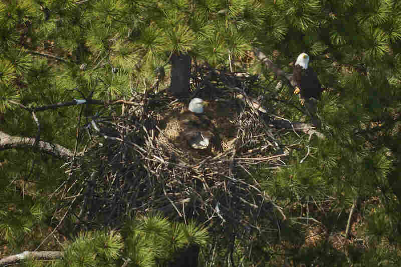 An eagle stands watch over its nest and mate.