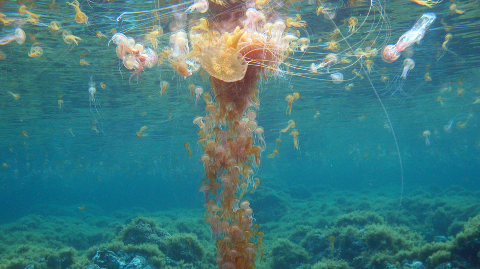 Marine biologist Stefano Piraino thinks overfishing is one of the reasons jellyfish populations are growing. He said if you take fish out of the oceans, it leaves more food for jellyfish. The jellyfish here are known as Pelagia noctiluca, the mauve stinger. (MED-JELLYRISK)
