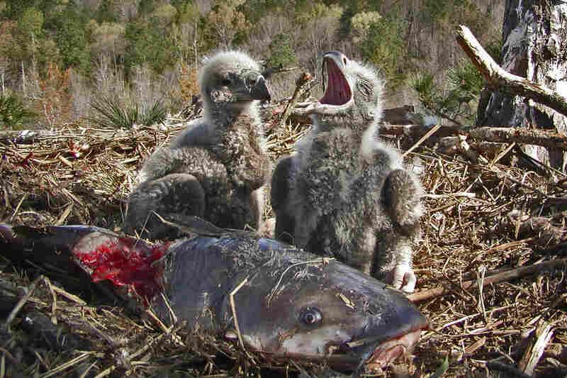 Chicks share a catfish.