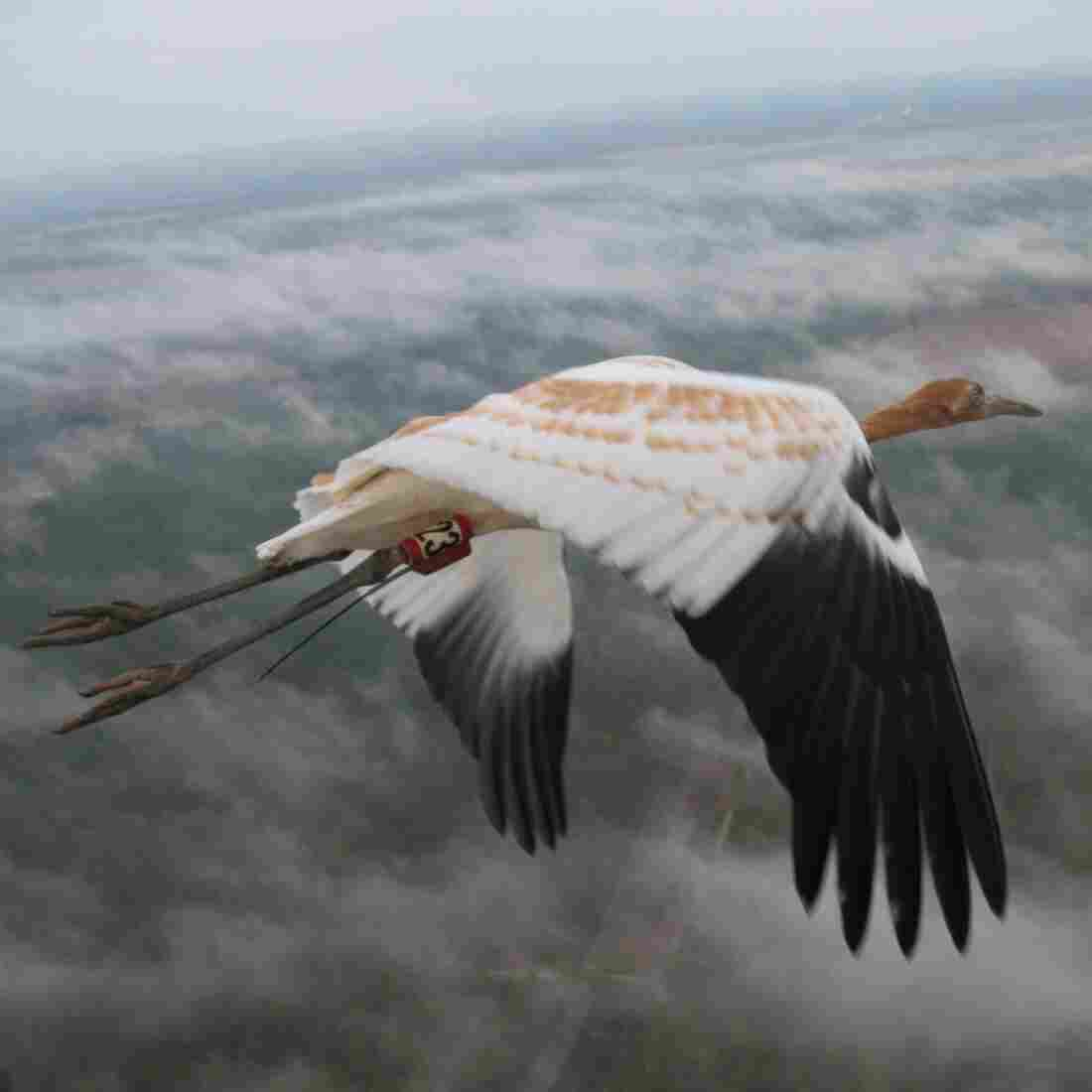 This young whooping crane is on its first fall migration, guided by an Operation Migration ultralight aircraft. Each whooper in this population wears an identification band, and many carry tracking devices that record their movements in detail.