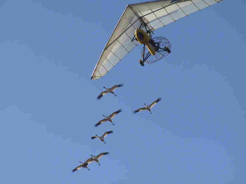 All the whooping cranes studied by the University of Maryland team received the same initial flight training as chicks, following an Operation Migration ultralight from Wisconsin to Florida in the fall. The Science study looked at data on their subsequent migrations — without the plane — beginning with the following spring.