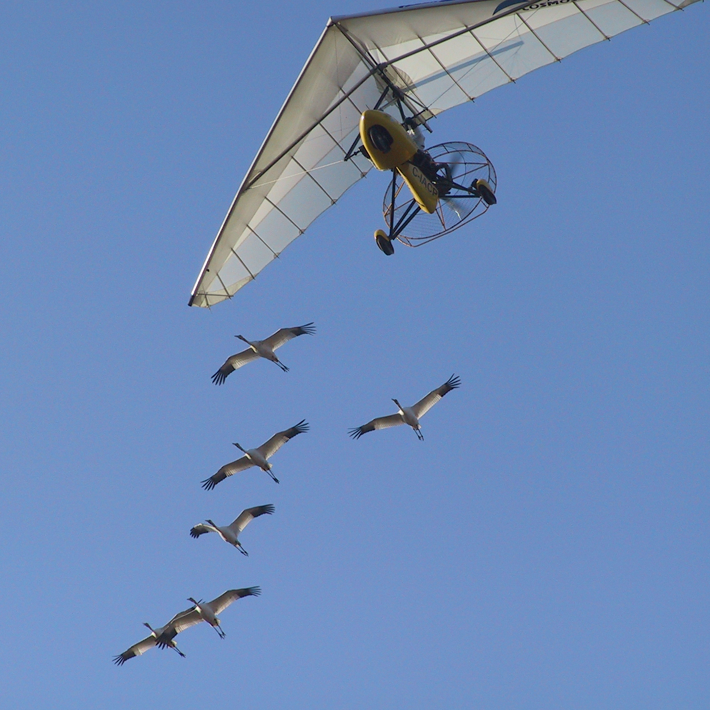 All the whooping cranes studied by the University of Maryland team received the same initial flight training as chicks, following an Operation Migration ultralight from Wisconsin to Florida in the fall. The Science study looked at data on their subsequent migrations -- without the plane -- beginning with the following spring.