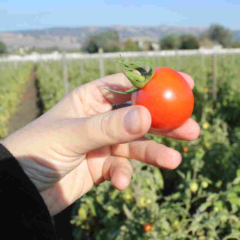 At Happy Boy Farms near Santa Cruz, Calif., Early Girl tomatoes are grown using dry-farming methods. The tomatoes have become increasingly popular with chefs and wholesalers.