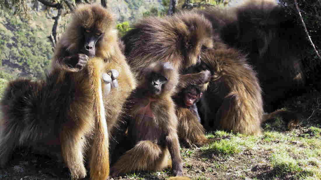 The gelada monkey, found only in the highlands of Ethiopia, is known as the bleeding heart baboon for the splash of red on its chest. Males of the species have a remarkable vocal agility greater than that of any nonhuman primate.