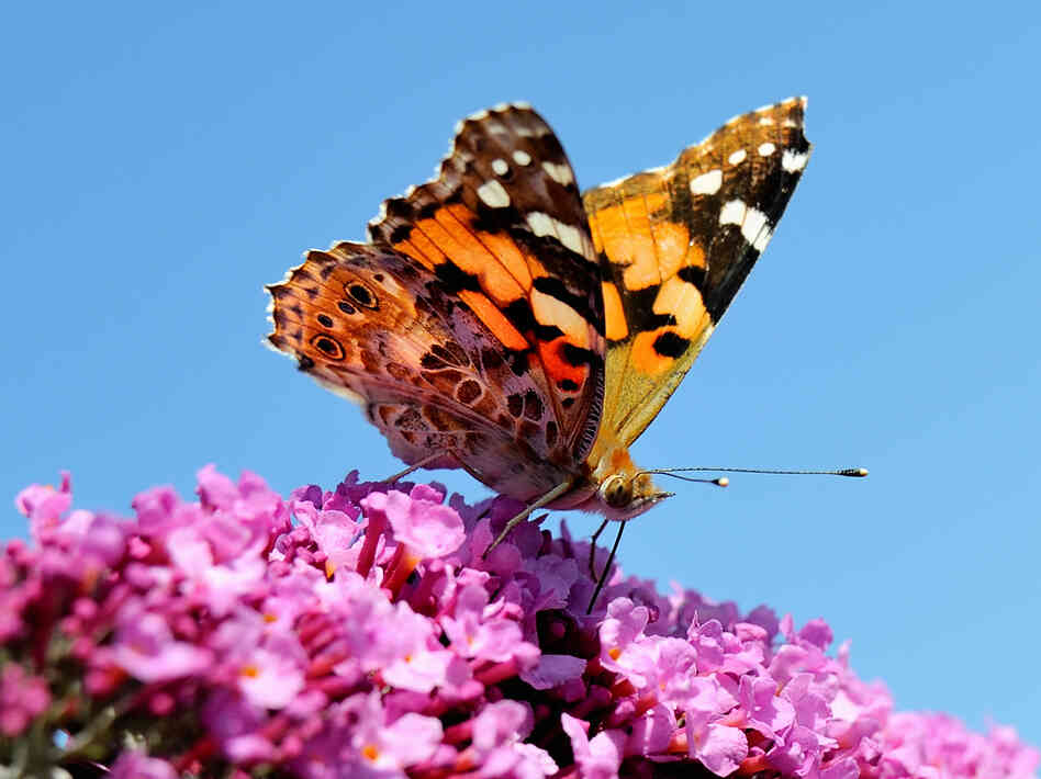 A butterfly pauses on a buddleia flower in Godewaersvelde, northern France.