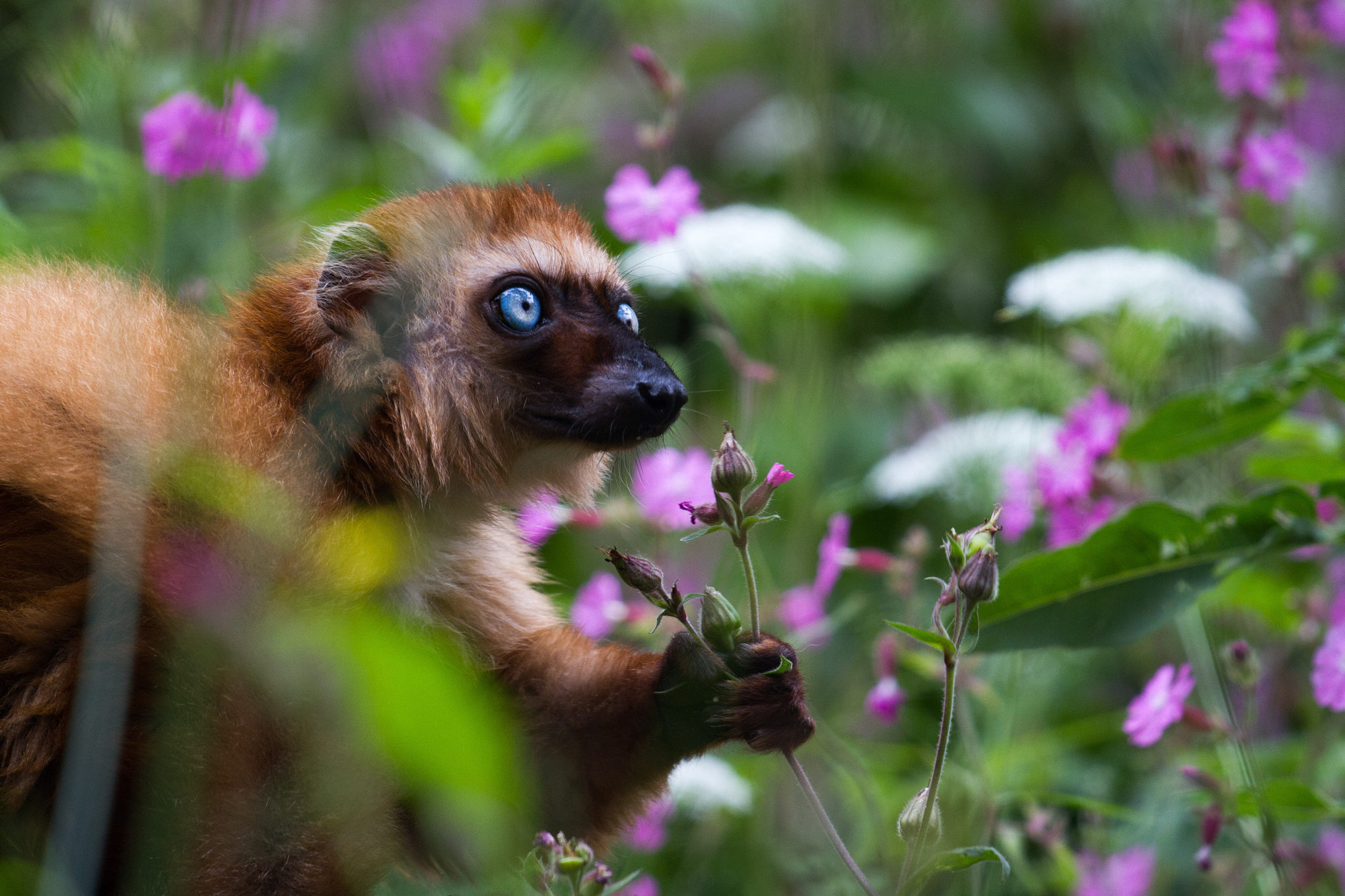 Enough With Baby Talk; Infants Learn From Lemur Screeches, Too
