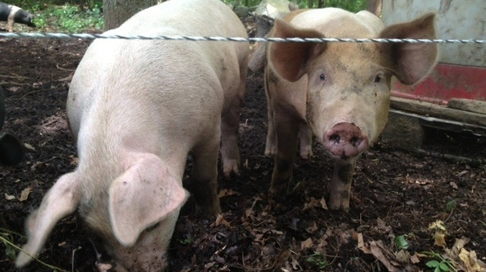 Two pigs root in the dirt at Pat McNiff's Rhode Island farm. (NPR)