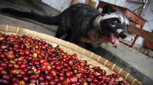 A civet cat eats red coffee cherries at a farm in Bondowoso, Indonesia. Civets are actually more closely related to meerkats and mongooses than to cats.