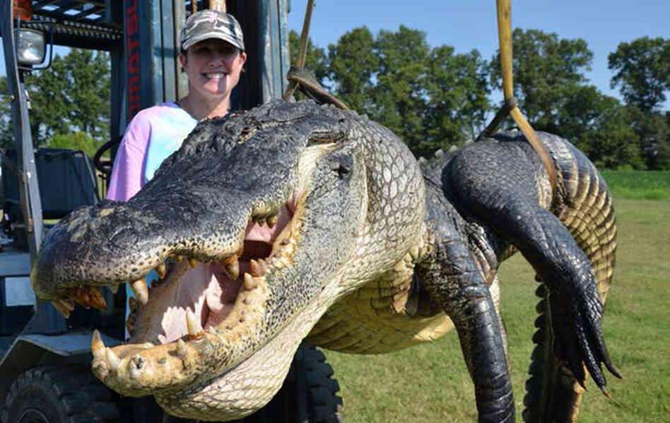 Biggest Alligator Caught