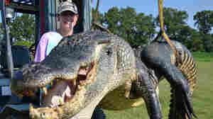 Beth Trammell of Madison, Miss., poses with the 723.5-pound alligator she and five others caught over the weekend.