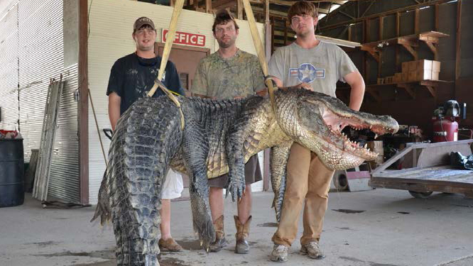 Two Alligators Topping 720 Pounds Each Caught In Mississippi