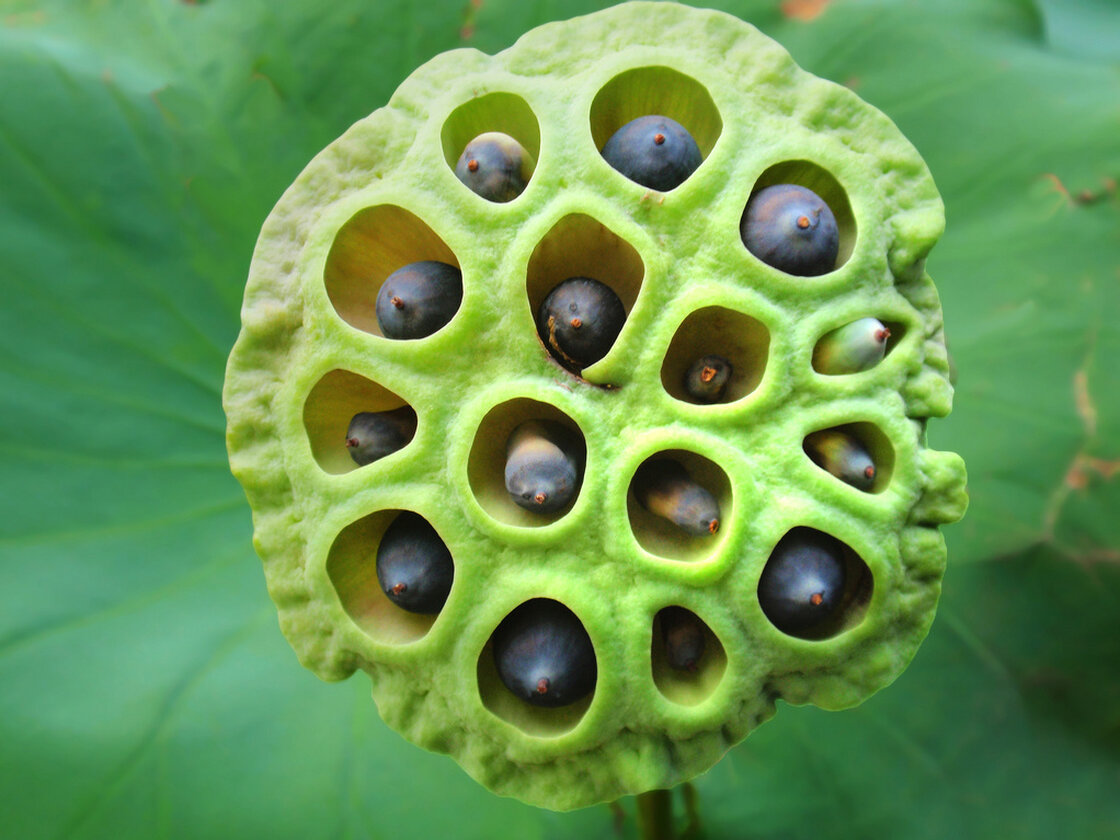 Bot fly trypophobia does this picture gross you out safe for work