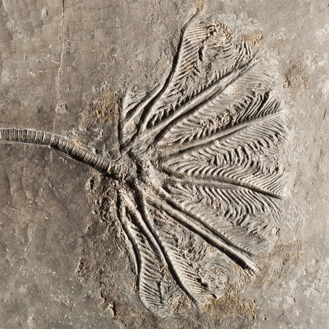 "Crinoids are called ""sea lilies"" due to their plant-like shape. On the left, a crinoid fossil from the late Triassic. On the right, a living crinoid found in a reef of the Batu Islands near Indonesia."