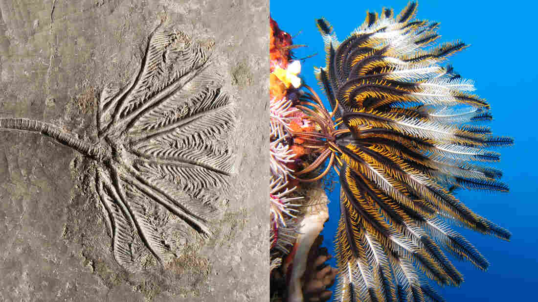 """Crinoids are called """"sea lilies"""" due to their plant-like shape. On the left, a crinoid fossil from the late Triassic. On the right, a living crinoid found in a reef of the Batu Islands near Indonesia."""