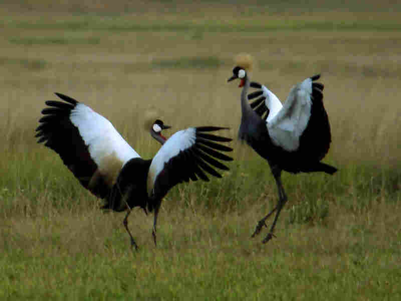 The grey-crowned crane, native to eastern and southern Africa, is endangered. Populations are declining 80 percent in some areas.