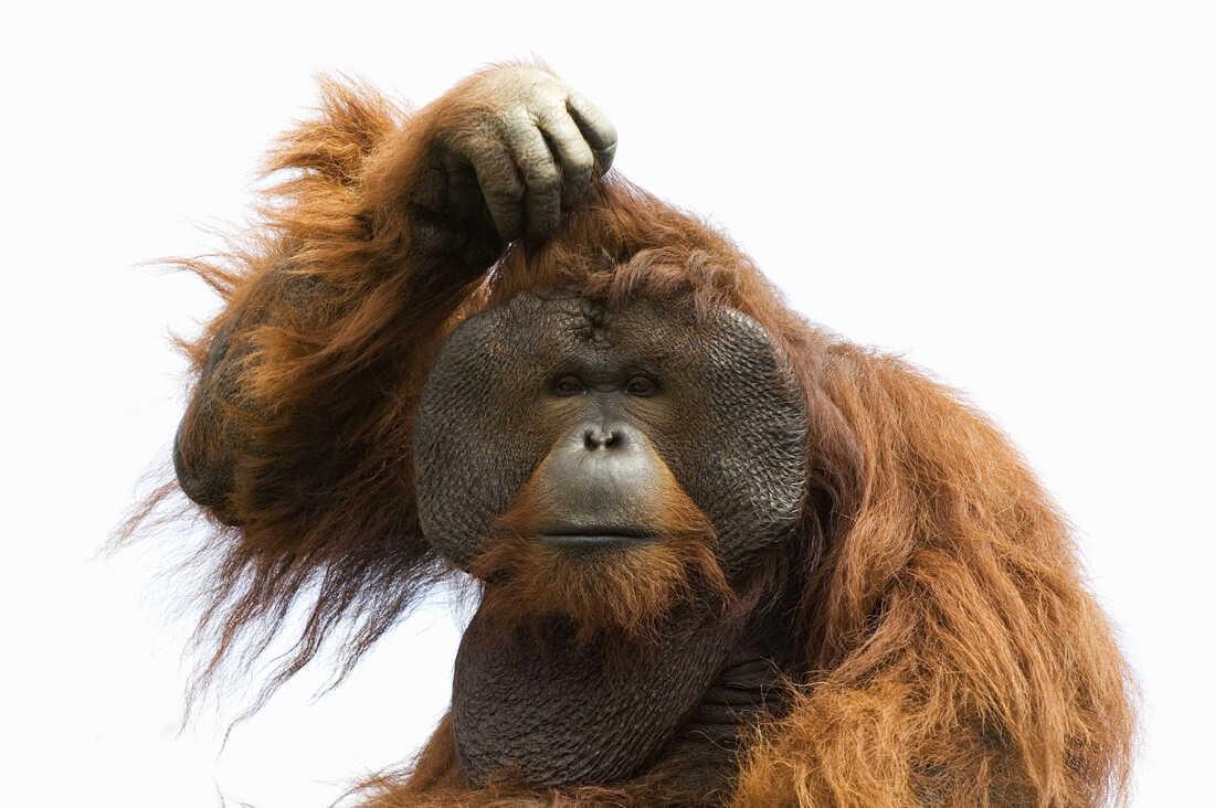 A confused orangutan.