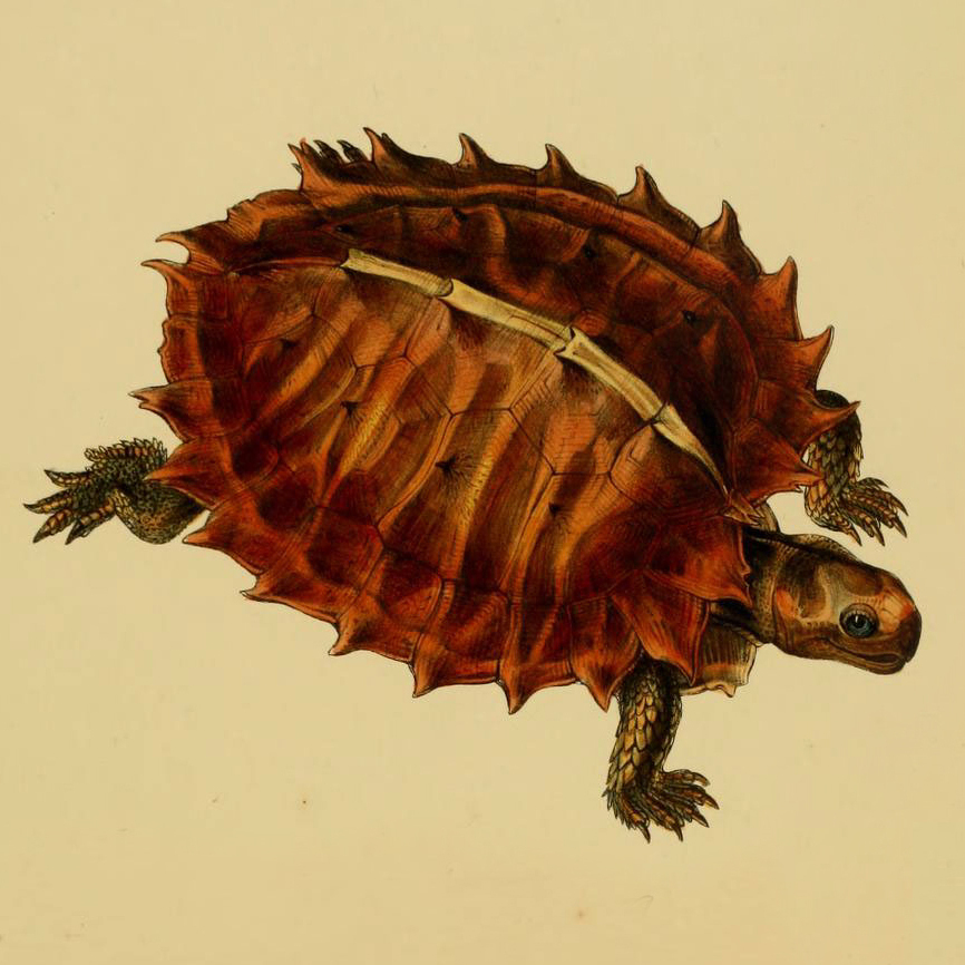 Heosemys spinosa, also known as the cogwheel turtle, has tines radiating from its body.