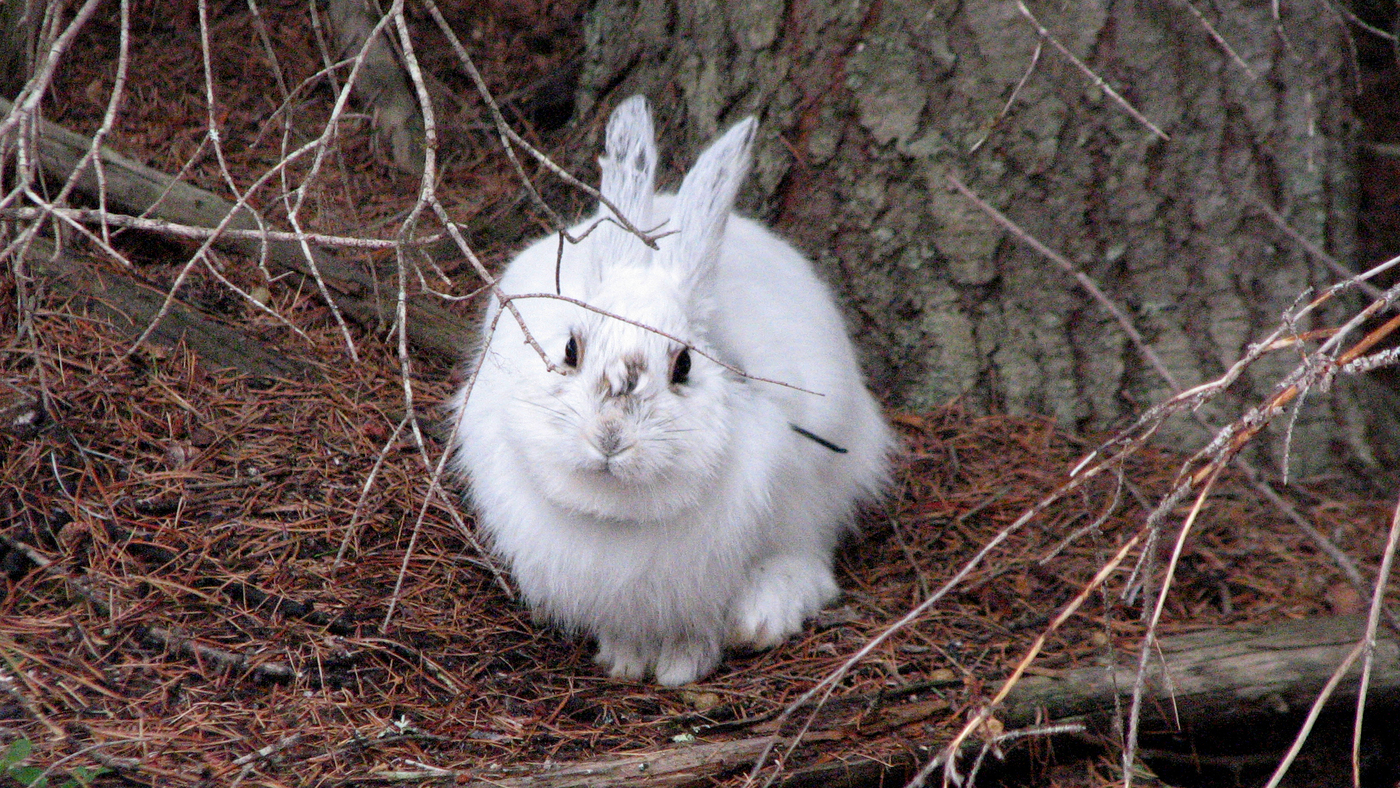 Climate Change Leaves Hares Wearing The Wrong Colors Npr