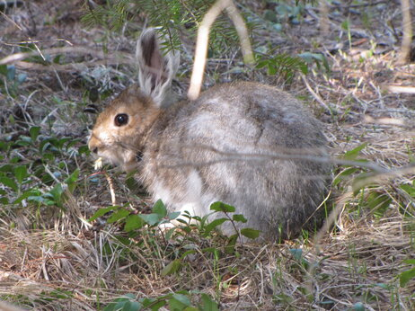A hare with fur to match the season is almost impossible to see.