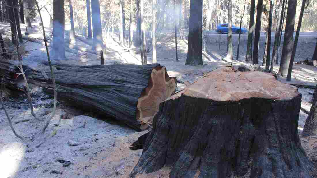 A charred tree rests on the forest floor after being sawn down to a stump Friday. Firefighters are still working to contain the Rim Fire, which is now the third-largest wildfire in California's history.