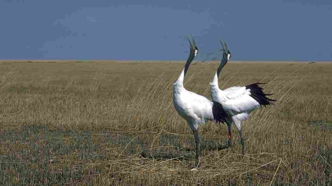 "Mated pairs of red-crowned cranes perform a ""unison call,"" a complex and extended series of calls between the male and female that reinforces the pair bond."