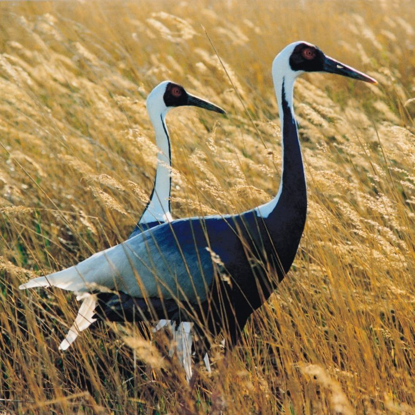 About 3,000 white-naped cranes migrate across the Korean peninsula every year -- and several hundred winter over in the Demilitarized Zone between North and South Korea.
