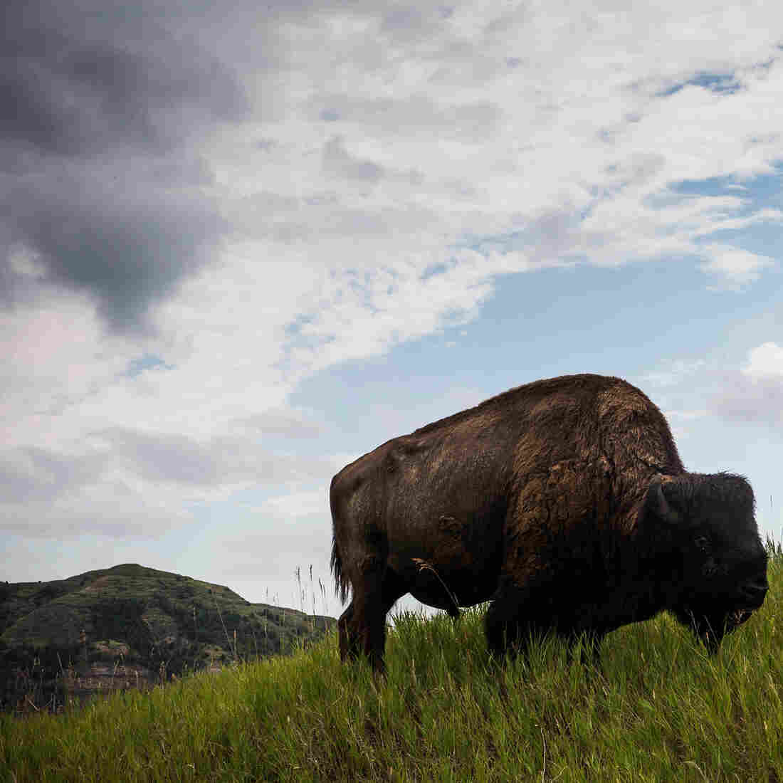 A lone bison in Theodore Roosevelt National Park, near where fracking has become standard practice.