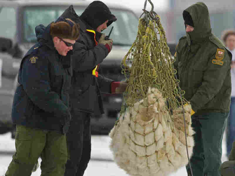 "A tranquilized subadult polar bear is in a net in 2007 in Churchill, Manitoba, known as the ""polar bear capital of the world."""