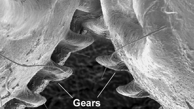An image from an electron microscope of the back legs of a planthopper insect. (Gregory Sutton)